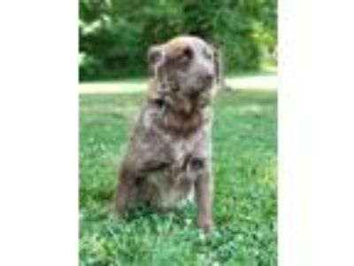 Adopt Boomer a Brown/Chocolate - with White Australian Shepherd / Mixed dog in
