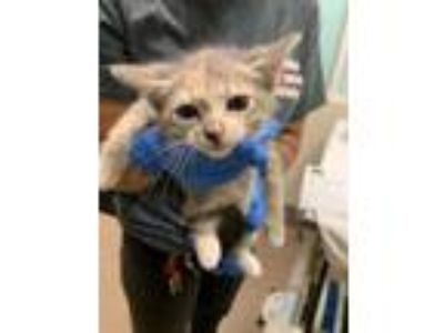 Adopt Fiona a Gray or Blue Domestic Shorthair / Domestic Shorthair / Mixed cat
