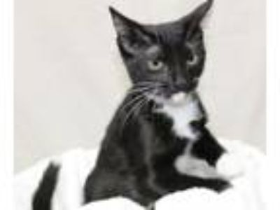 Adopt Mochi a Black & White or Tuxedo Domestic Shorthair / Mixed (short coat)