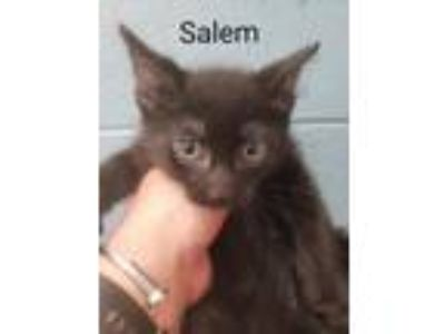 Adopt Salem (Buffalo St) a Domestic Short Hair