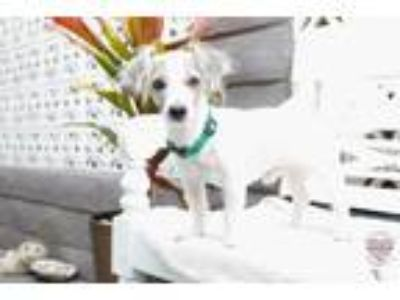 Adopt Eastwood a White - with Black Lhasa Apso / Mixed dog in Inglewood