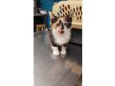 Adopt Shandy a Domestic Short Hair