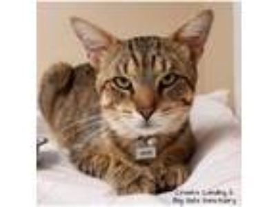 Adopt DAVE a Domestic Short Hair