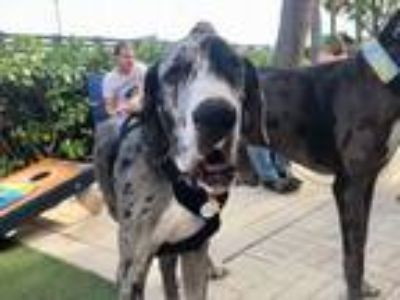 Adopt Penelope(Penny) a Great Dane