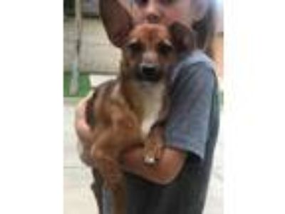 Adopt Brody a Dachshund / Terrier (Unknown Type, Small) / Mixed dog in Gilmer