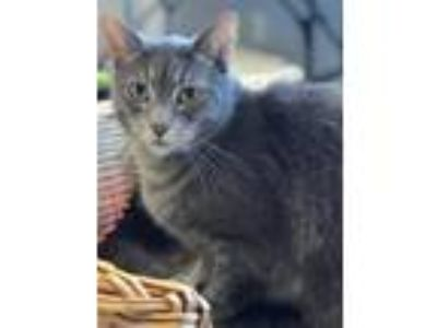 Adopt Mo a Domestic Short Hair