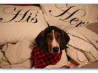 Adopt Eddie a Treeing Walker Coonhound