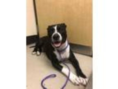Adopt Tyson a Black American Pit Bull Terrier / Mixed dog in Bellingham