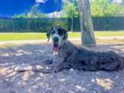 Adopt Penelope(Penny) a Merle Great Dane / Mixed dog in Plantation