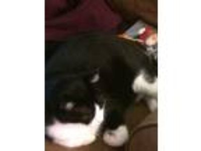 Adopt Loki a Black & White or Tuxedo American Shorthair / Mixed cat in