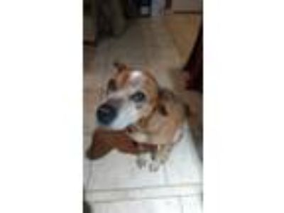 Adopt Tank a Tan/Yellow/Fawn American Pit Bull Terrier / Boxer / Mixed dog in