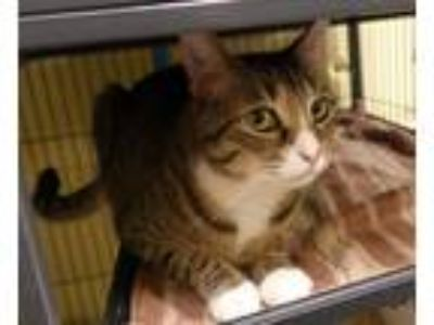 Adopt Thunder (TAS #1) a Brown Tabby Domestic Shorthair / Mixed (short coat) cat