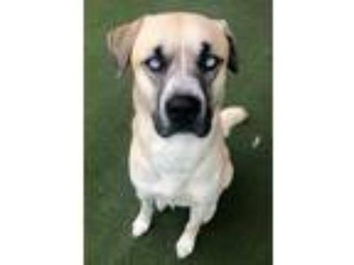 Adopt Blue a Tan/Yellow/Fawn Siberian Husky / Boxer / Mixed dog in Merriam