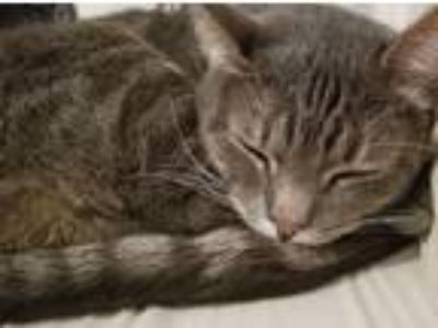 Adopt Sevie a Gray, Blue or Silver Tabby Domestic Shorthair / Mixed cat in