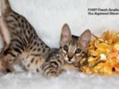 F4SBT Savannah Kittens