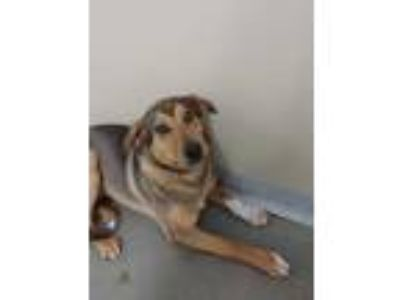 Adopt Dixie a Brown/Chocolate Collie / Mixed dog in Monroe, WI (25217514)