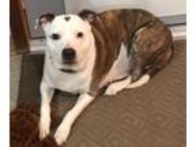 Adopt Abigayle (Abbie) a American Staffordshire Terrier