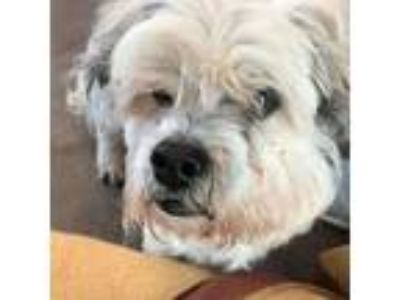 Adopt Billy a White - with Gray or Silver Shih Tzu / Terrier (Unknown Type