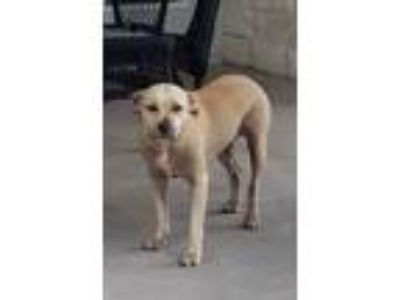 Adopt Mila a Tan/Yellow/Fawn Labrador Retriever / Mixed dog in Leander