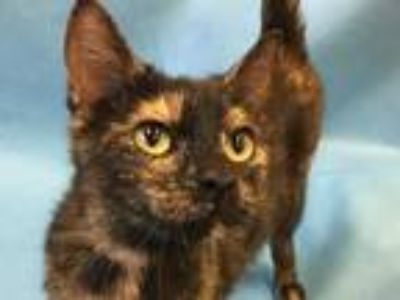 Adopt Shelly a All Black Domestic Shorthair / Mixed cat in Golden Valley