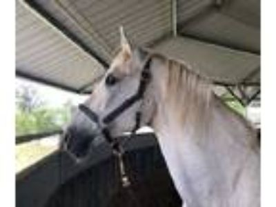 Updated15 years old 161hh grey AndalusianThoroughbred gelding