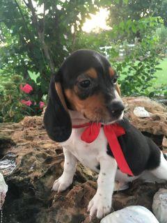 Reg.Beagle Puppy