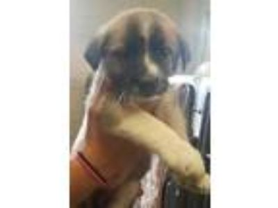 Adopt Howler(available 6/24) a Tan/Yellow/Fawn Great Pyrenees / Mixed dog in