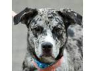 Adopt Babe a Gray/Silver/Salt & Pepper - with Black Catahoula Leopard Dog /