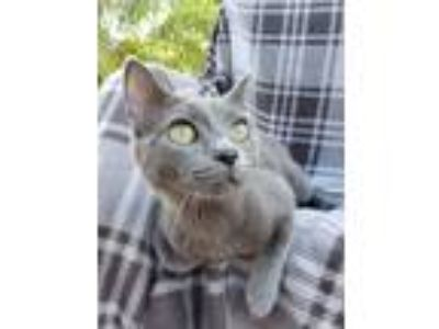 Adopt Lily Russian Blue Blend (Cocoa a Gray or Blue Domestic Shorthair (short