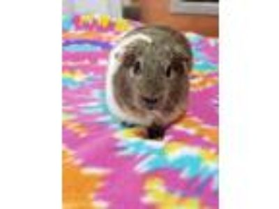Adopt Sweetie a Guinea Pig small animal in Sebastian, FL (25249775)