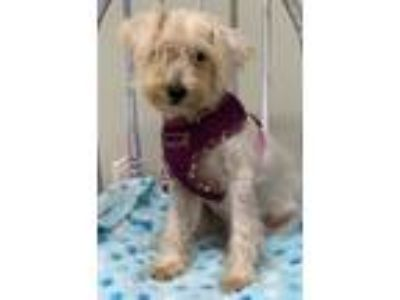 Adopt Jay Jay a Standard Schnauzer / Mixed dog in Meridian, MS (25854563)