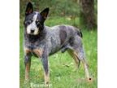Adopt Brumby a Australian Cattle Dog / Blue Heeler