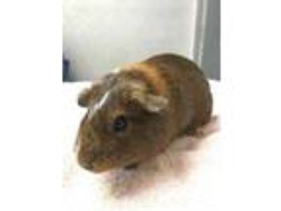 Adopt 42081502 a Black Guinea Pig / Guinea Pig / Mixed small animal in Lihue