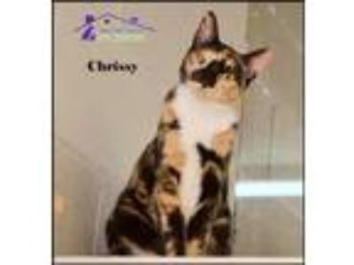 Adopt Chrissy a Calico or Dilute Calico Calico / Mixed (medium coat) cat in