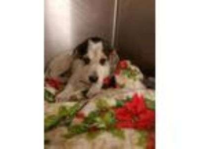 Adopt Polly a White Hound (Unknown Type) / Mixed dog in Louisburg, NC (25481965)