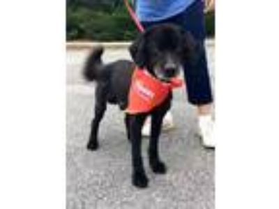Adopt Smokie a Black Retriever (Unknown Type) / Mixed dog in Fairfax Station