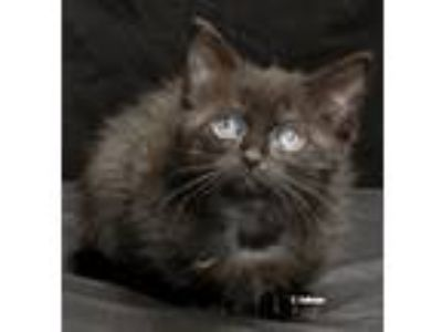 Adopt Wednesday a All Black Domestic Shorthair (medium coat) cat in Newland