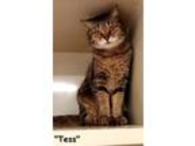 Adopt Tess a Brown Tabby Domestic Shorthair (short coat) cat in Key Largo