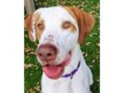Adopt Diesel a Great Dane, Mixed Breed