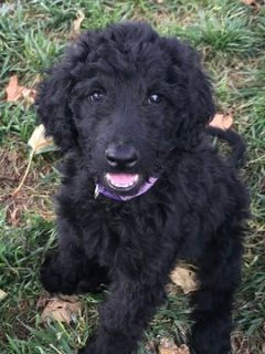 Goldendoodle PUPPY FOR SALE ADN-91701 - Beautiful F1b Goldendoodle puppies