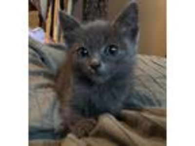 Adopt Hot Pie a Gray or Blue Russian Blue (short coat) cat in Los Angeles
