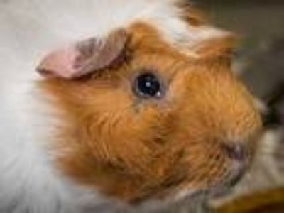 Adopt Jay a Red Guinea Pig / Guinea Pig / Mixed small animal in Longmont