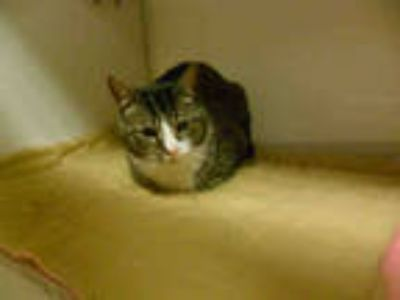 Adopt *SLAP STICK a Brown Tabby Domestic Shorthair / Mixed (short coat) cat in