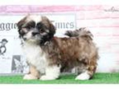 Gracie Female Shih-Tzu Puppy