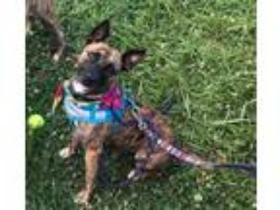 Adopt Ariel a Brindle Pit Bull Terrier dog in Gilbertsville, PA (25841210)