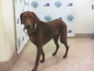 Adopt BISON a Brown/Chocolate Labrador Retriever / Mixed dog in Doral