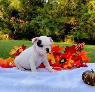 French Bulldog PUPPY FOR SALE ADN-99228 - Female French Bulldog