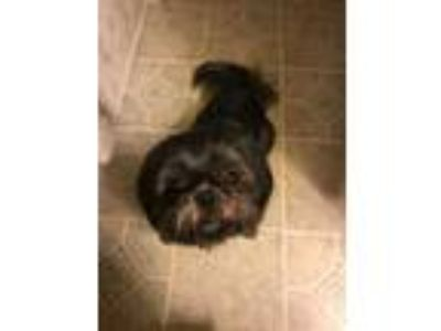 Adopt Ginger Snap (Bonded w Bailey Biscuit) a Shih Tzu