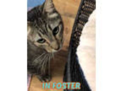 Adopt HAUNS a Brown Tabby Domestic Shorthair / Mixed (short coat) cat in
