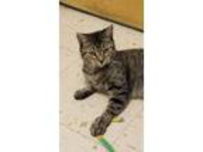 Adopt Nefertiti a Domestic Short Hair, Tabby
